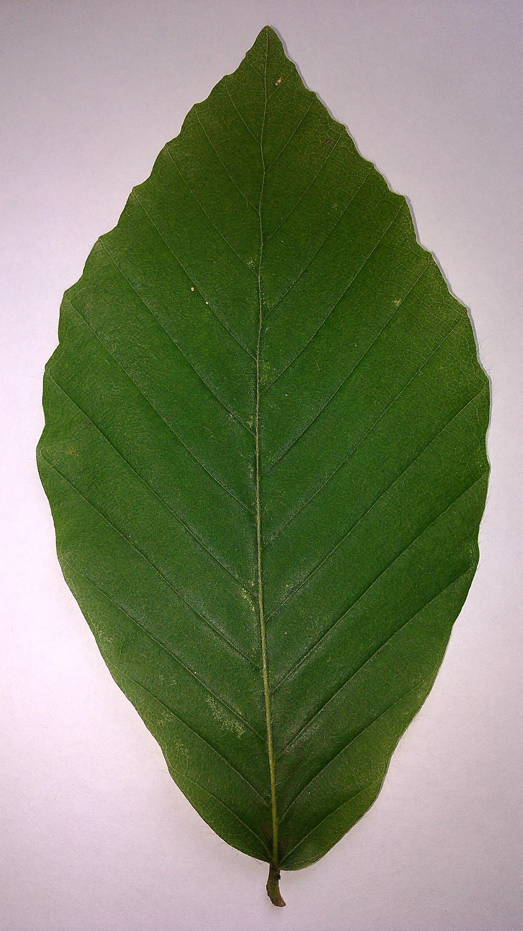 как выглядит лист бука восточного который растет в горах кавказа