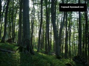 какого дерева больше всего на кавказе
