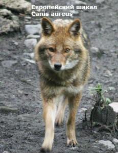 какие животные обитают на кавказе