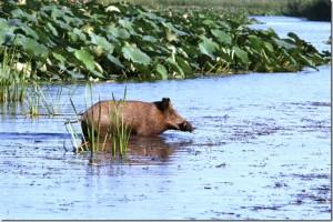 от кого произошла домашняя свинья