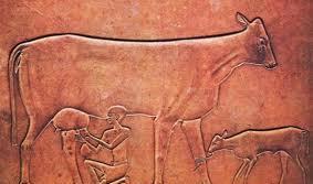 где одомашнили корову