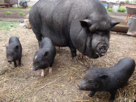 чем людям понравились свиньи