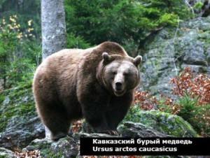 какова дикая природа кавказа