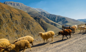 какой скот преимущественно разводился на кавказе