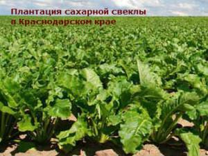 какие культуры выращиваются на кавказе