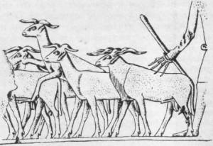 где приручили овец
