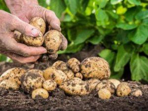 почему в европе выращивают столько картофеля