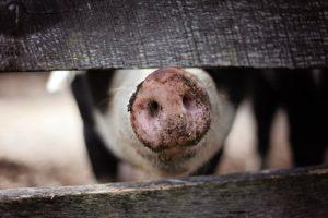 почему разводят свиней